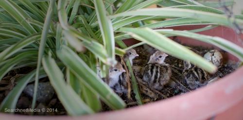 Baby Chick Gambel Quail